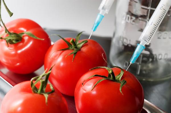 gmo-tomato1