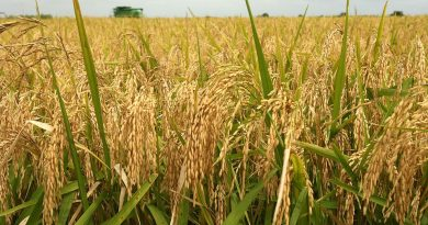 Rice_Farming_Nigeria