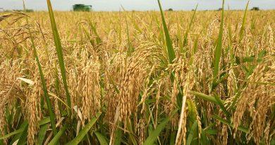 Rice_Farming_Nigeria
