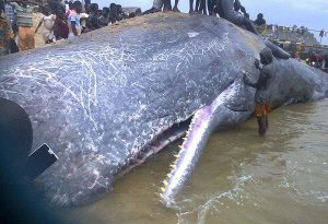 Decomposing Whale at Jomoro