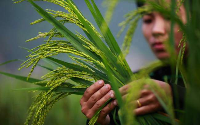 Hoang Kim Vuong, a young Vietnamese farmer at her SRI farm in Yen Bai province