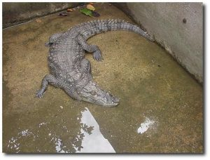 School_crocodile